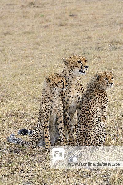 Gepard (Acinonyx jubatus)  weiblich  mit Jungtieren  Masai Mara  Narok County  Kenia  Afrika