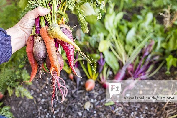 Europäer Frische Gemüse halten Garten Bauer