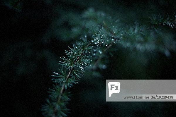 Close up of dew drops on evergreen tree branch