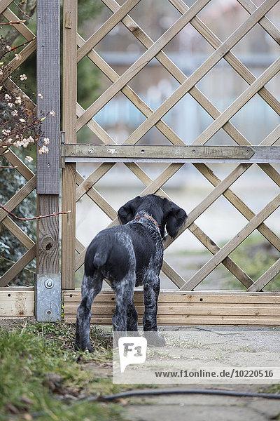 Rückansicht des jungen schwarz-weißen Hundes am Gartentor