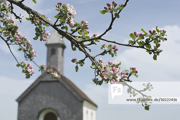 Apfelblüte vor ländlicher Kirche