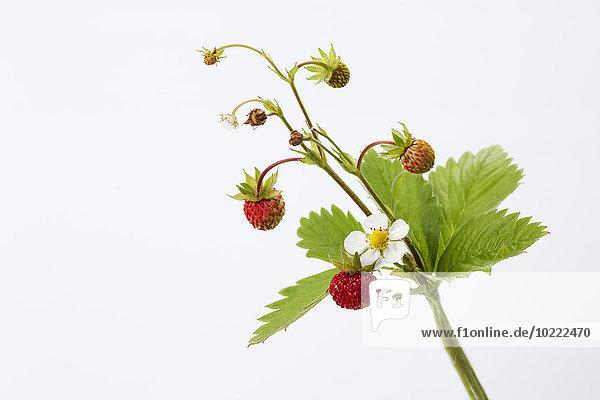 Erdbeerpflanze  Fragaria