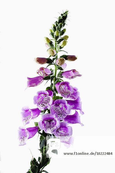 Fingerhut  Digitalis purpurea  Heilpflanze