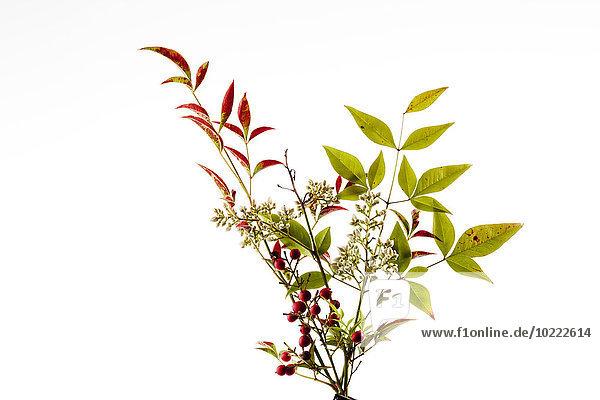 Früchte  Blüten und Blätter des himmlischen Bambus auf weißem Grund