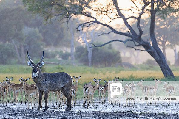 Simbabwe  Urungwe District  Mana Pools Nationalpark  Wasserziege und Impalasherde Simbabwe, Urungwe District, Mana Pools Nationalpark, Wasserziege und Impalasherde
