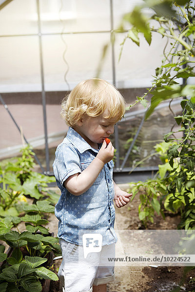 Little boy standing in a greenhouse eating strawberry