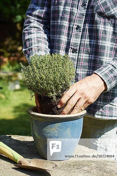 Gärtner beim Pflanzen von Thymian im Topf Gärtner beim Pflanzen von Thymian im Topf