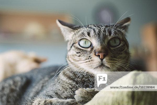 Portrait einer Katze auf der Rückenlehne einer Couch liegend