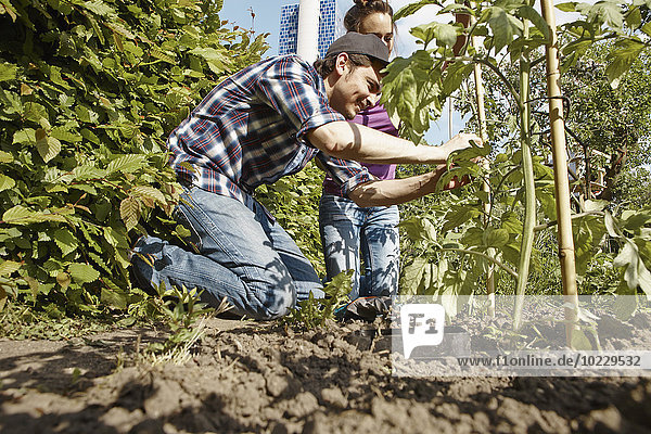Glückliches Paar bei der Gartenarbeit an der Tomatenpflanze