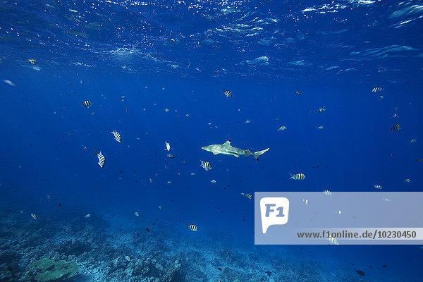 Malediven  Haie und andere Fische im Indischen Ozean