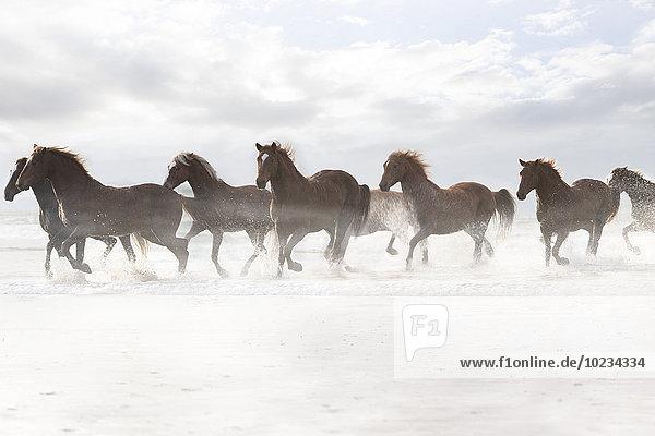 Braune Pferde beim Laufen am Strand Braune Pferde beim Laufen am Strand
