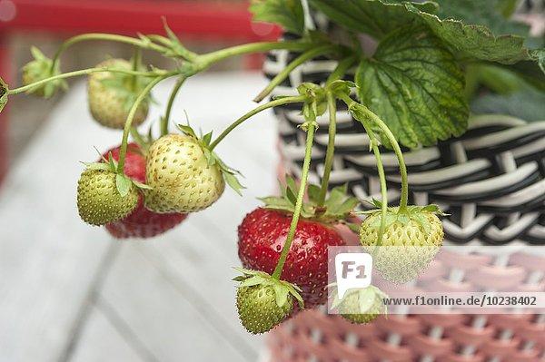 Reife & unreife Früchte an Erdbeerpflanze in Übertopf aus Plastik Geflecht