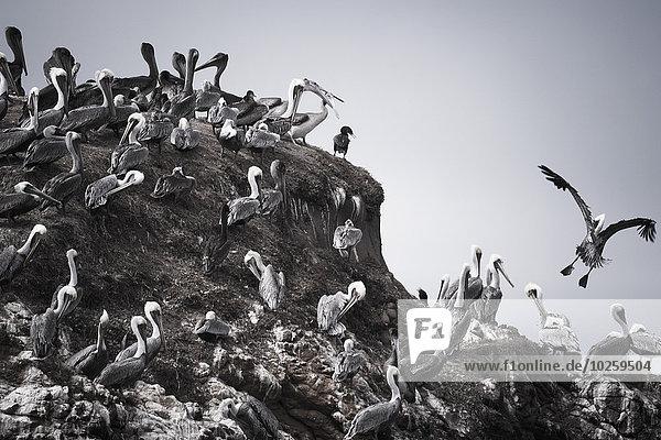 Pelikane auf dem Hügel gegen den klaren Himmel