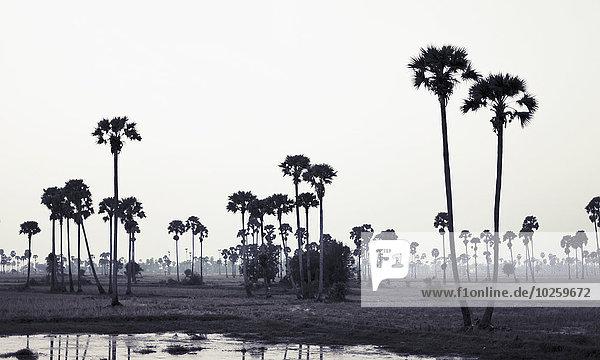 Bäume in der Landschaft gegen den klaren Himmel  Phnom Penh  Kambodscha