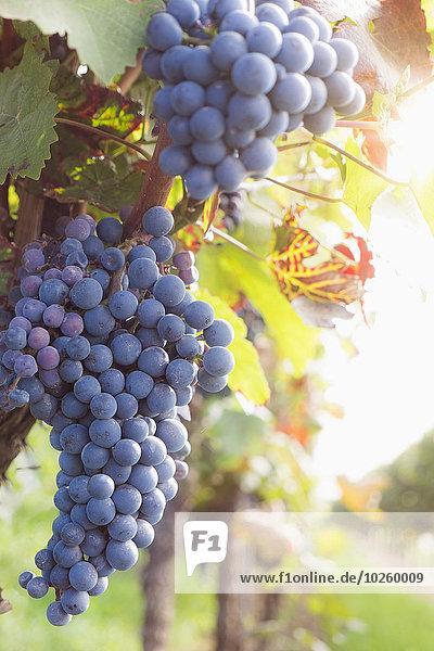 Wachstum,Weintraube,rot,Weinberg
