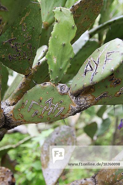 Nahaufnahme des auf Kaktusblättern geschnitzten Textes