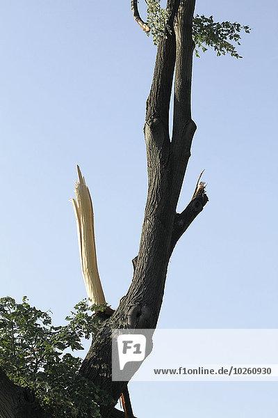 Niedrige Winkelansicht des Baumstammes gegen den klaren Himmel