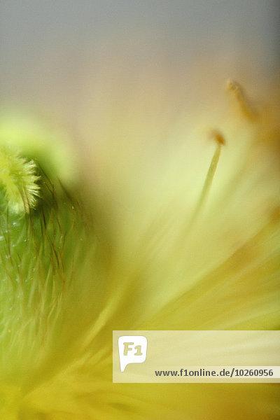 Detail der gelben Blume