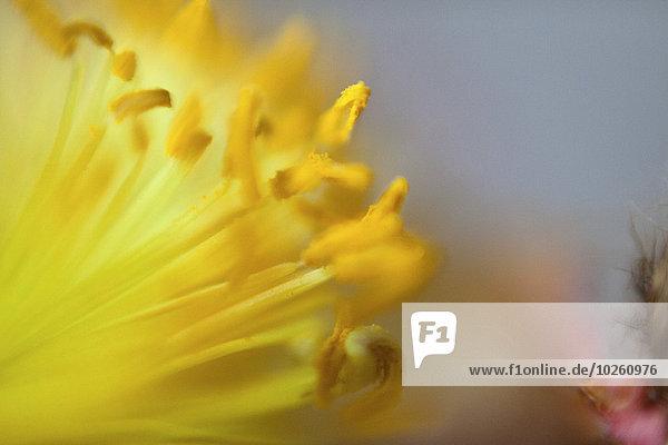 Detail der gelben Blütenpollen