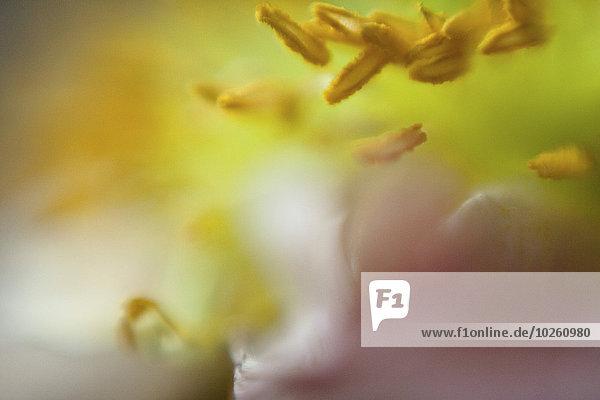 Extreme Nahaufnahme von gelben Blütenpollen