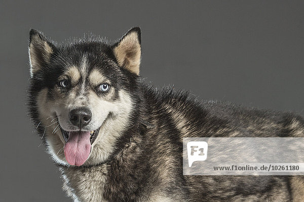 Siberian Husky mit Blick über den grauen Hintergrund