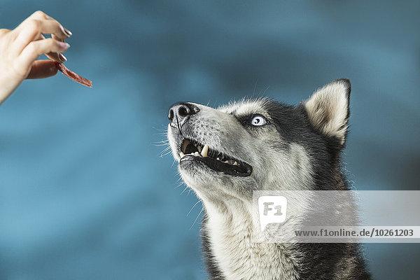 Farbaufnahme,Farbe,Frau,über,Hintergrund,Close-up,Husky,füttern