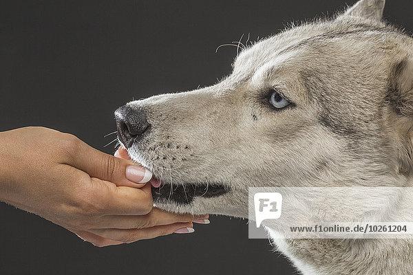 Nahaufnahme einer Frau  die Siberian Husky über grauem Hintergrund füttert.