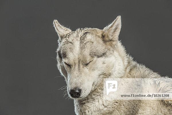 Siberian Husky mit geschlossenen Augen über grauem Hintergrund