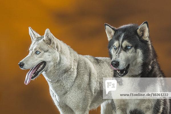 Siberian Huskies über farbigem Hintergrund