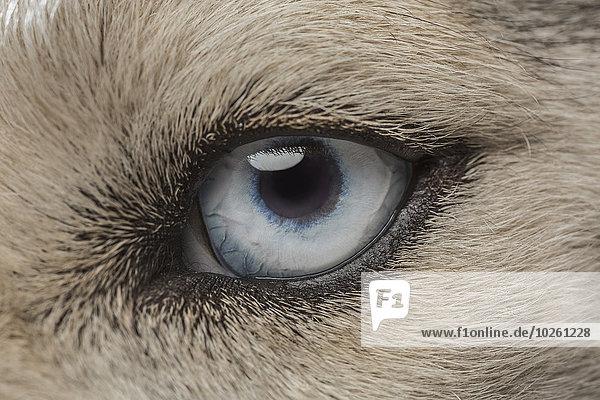 Auge des Siberian Husky