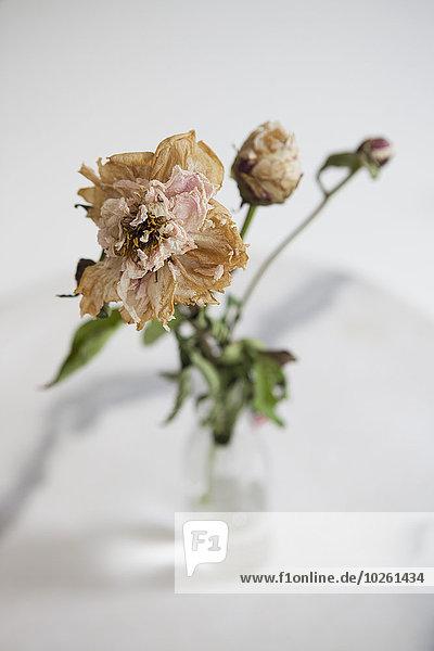 Hochwinkelansicht der trocknenden Blume in Vase auf weißem Hintergrund