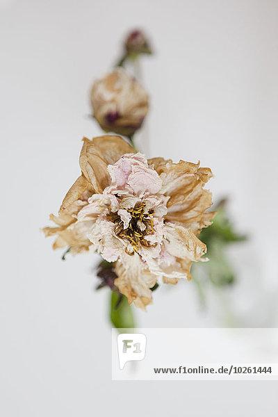 Hochwinkelansicht der trocknenden Blume auf weißem Hintergrund