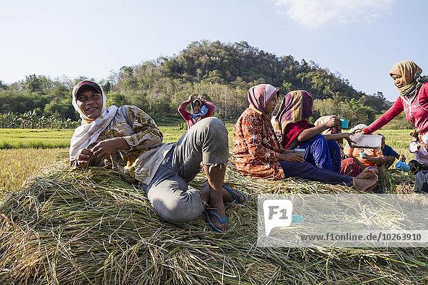 ernten Reis Reiskorn Insel Flores Indonesien