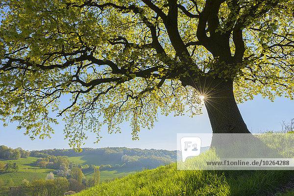 Landschaftlich schön landschaftlich reizvoll Baum früh Eiche Ansicht Deutschland Hessen alt Sonne