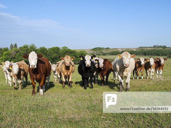 Hausrind Hausrinder Kuh Neugier grün mischen Wiese Alberta Rindfleisch Rind Kanada vieh Mixed