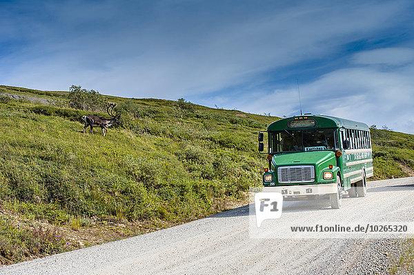 Bulle Stier Stiere Bullen nahe Nationalpark Omnibus Stein Karibu Denali Nationalpark füttern Erdhügel