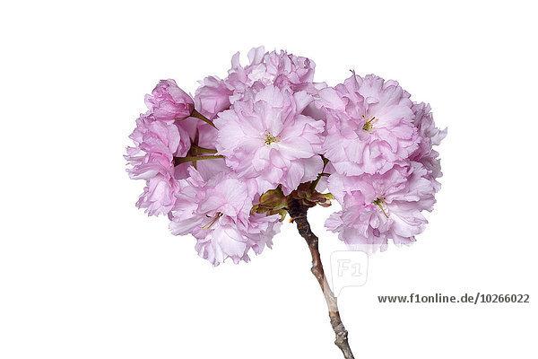 Studioaufnahme Kirsche weiß Blüte Hintergrund Pflaume japanisch