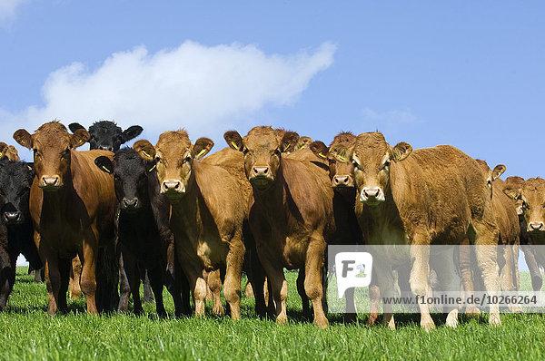 hoch oben Großbritannien grün schwarz Rind rot Wiese Menschenreihe Rindfleisch England Limousin vieh