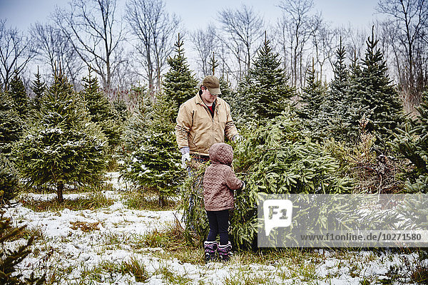 'Father and daughter carrying cut down Christmas tree from a Christmas tree farm; Stoney Creek  Ontario  Canada'
