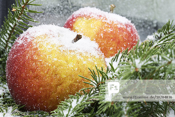 Ast Kiefer Pinus sylvestris Kiefern Föhren Pinie Apfel