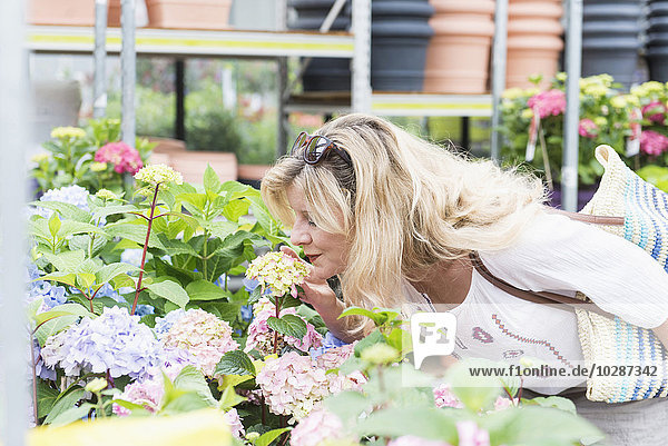 Mature woman smelling Hydrangea flowers in greenhouse  Augsburg  Bavaria  Germany Mature woman smelling Hydrangea flowers in greenhouse, Augsburg, Bavaria, Germany