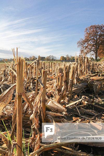 Stubble in harvested corn field  Eichenau  Fürstenfeldbruck  Bavaria  Germany
