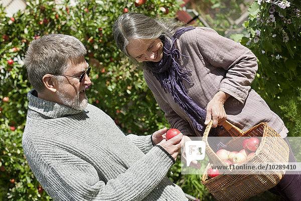 Schweden  Vastergotland  Tarby  Seniorpaar beim Äpfel pflücken im Garten