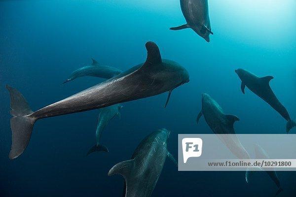 Shoal of Atlanic Bottle Nose Dolphins (Tursiops Truncatus) Socorro Island  Mexiko