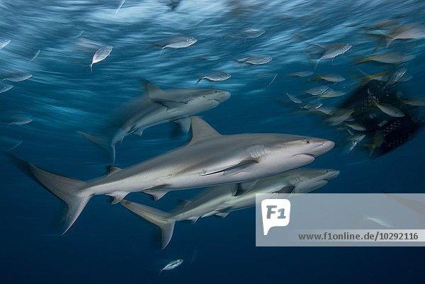 Junge Riffhaie werden in der Abenddämmerung von einer Köderbox angezogen  Bahamas  Karibik