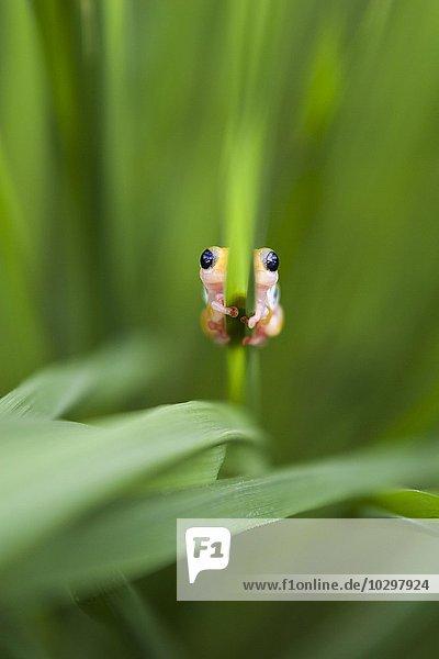 Kilombero Reed Frog (Hyperolius viridiflavus reesi)  Kilombero-Distrikt  Tansania  Afrika