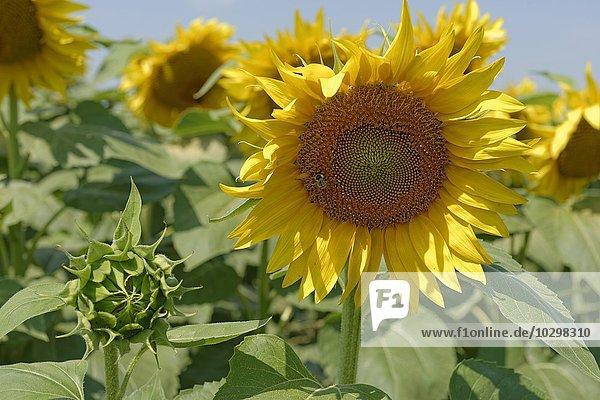 Sonnenblumenfeld  Frauenkirchen  Neusiedler See  Seewinkel National Park  Burgenland  Österreich  Europa