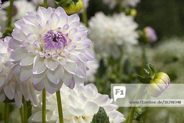 Weiße Schmuck-Dahlie Evelyne (Dahlia × hybrida)  Nordrhein-Westfalen  Deutschland  Europa