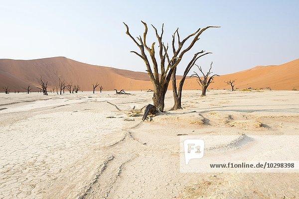 Abgestorbene Kameldornbäume (Acacia erioloba) im Deadvlei  Sossusvlei  Namib Wüste  Namibia  Afrika