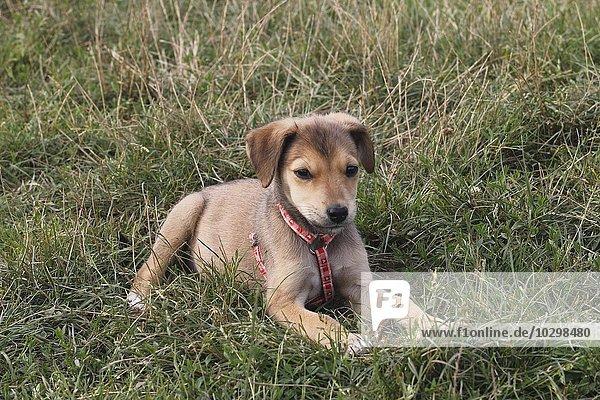 Junger Hund  Mischling  12 Wochen alt  liegt auf einer Wiese  Deutschland  Europa
